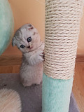 Шотландскі кошенята Калуш