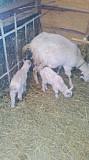 Продам кози Вінниця
