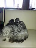Кішки Прилуки