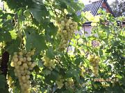 Продаю Саженцы и черенки винограда КИШМИШ - 13 сортов, делаю прививку. Миколаїв