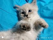 Невская маскарадная порода, котята Одеса