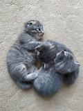 Британські кошенята Коломия