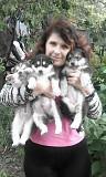Аляскинский маламут щенки Суми