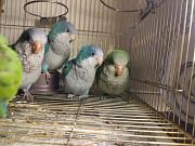 Ручной попугай калита монах квакер разные окрасы Київ