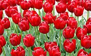 Тюльпаны, рассада. Дніпро