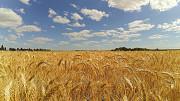 Продам пшеницю Рівне