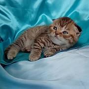 Шотландская вислоухая девочка. Котенок тигренок. Київ