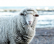 Закупаем овечью шерсть Миколаїв