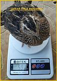 Яйца инкубационные перепела Фараон (селекция Espana). Одеса