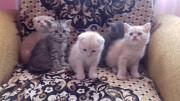 Продаються шотландські прямовухі і висловухі кошенята Снятин