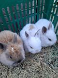 Декоративные кролики Миколаїв