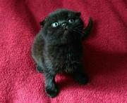 Продам срочно недорого котенка фолд от чистокровных родителей Суми