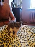 Отдам котят Київ