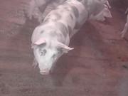 Продам свини Житомир
