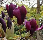 Магнолия Морозостойкая лилиецветная Нигра Nigra гибрид садовый Дніпро