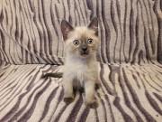 Тайский котенок -девочка! Дніпро