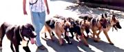 Основный курс дресерування собак Хмельницький
