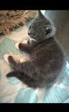 Продам недорого милих шотландських кошенят Каменец-Подольский