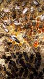 Пчеломатка Карпатка Мукачево