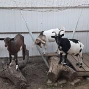 Продам камерунскую козу с козлятами Одеса