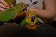 Попугай аратинга полностью ручные птенцы Київ