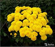 Хризантемы разные, рассада дёшево. Дніпро