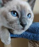 Продам котика породы тонкинез Дніпро
