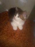 котенок 2 месяца Черкаси