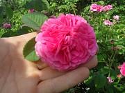 саженцы чайной розы Дніпро
