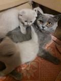 Продаются котята-британцы Черкаси