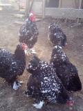 інкубаційні яйця курей породи кохінхін, віандот, фавероль, лівенська ситцева. фазани. Горохів