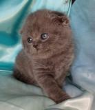 Шотландский вислоухий котенок. Девочка. Київ
