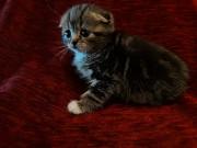 Продам СРОЧНО, НЕ ДОРОГО! Кошечку породы шотландская веслоухая фолд Суми