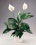 Спатифиллум, комнатное растение Київ