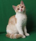 Шотландский котенок Запоріжжя