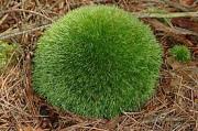 Купим мох лесной (кочковый) Кропивницький