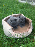 Шотландські котики Ужгород