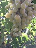 Выполняю ПРИВИВКИ плодовых деревьев и винограда. Изготовлю из Вашего винограда НАТУРАЛЬНОЕ вино. Миколаїв