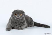 Шотландские котята! Полтава