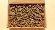 Коконы пчёл осмий Бориспіль