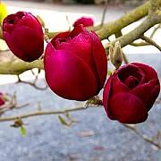 Magnolia Black Tulip, Магнолия Блэк Тюлип морозостойкая гибрид Запоріжжя