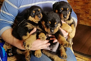 Продам щенят ротвейлера Фастів