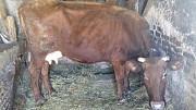 Продам корову Полтава