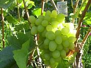 саженцы винограда Днепр