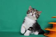Шотландские котята из питомника с документами Київ