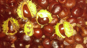 Продаю плоды каштана конского Покров