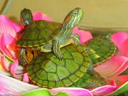 Домашние любимцы - красноухие черепахи. Доставка Київ