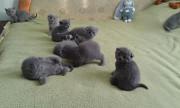 шотландские плюшевые котята Кропивницький