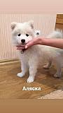 Продам щенков Самоеда Київ