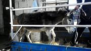 Перевезу Вашу худобу по Україні (кінь,корови,свині,вівці,кози). Золотоноша